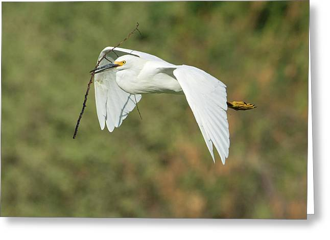Snowy Egret 4786-091017-1cr Greeting Card