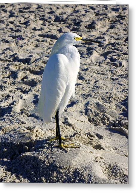 Snowy Egret At Naples, Fl Beach Greeting Card