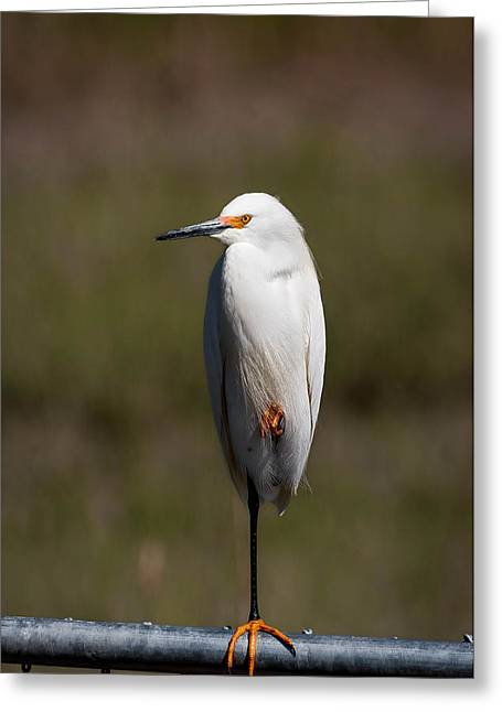 Snowy Egret Greeting Card by Benjamin DeHaven