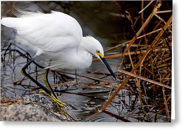 Snowy Egret Egretta Greeting Card