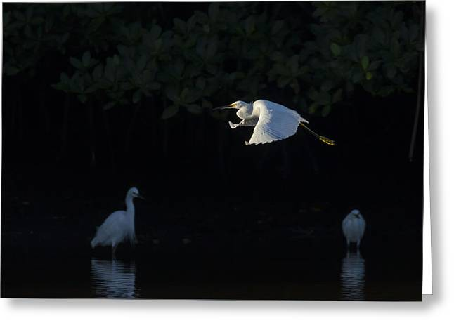 Snowy Egret Gliding In The Morning Light Greeting Card