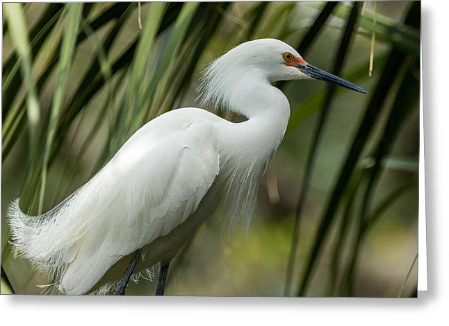 Snowy Egret Greeting Card by Gregg Southard