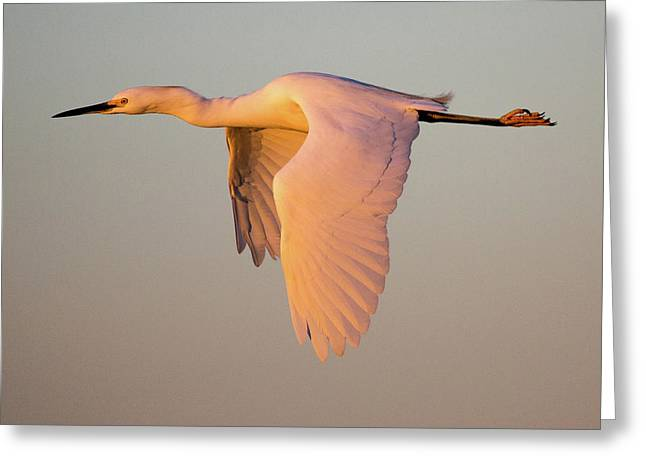 Snowy Egret In Flight At Sunset Greeting Card