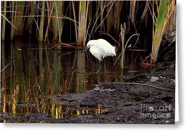 Snowy Egret In Late Afternoon Greeting Card