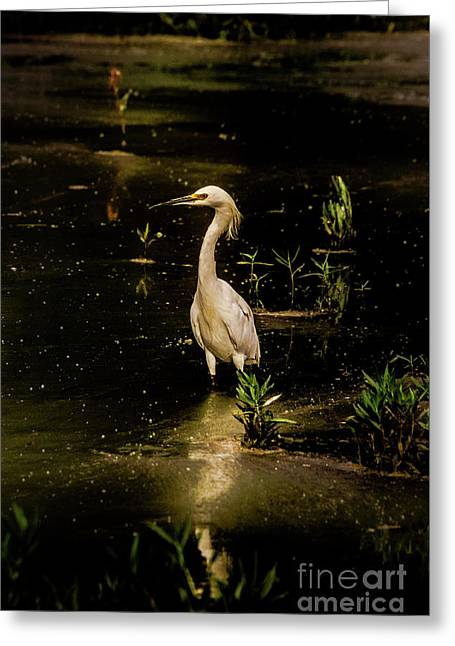 Snowy Egret In Low Light Greeting Card by Robert Frederick