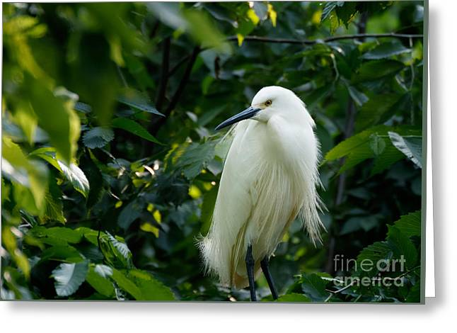 Snowy Egret In The Trees Greeting Card