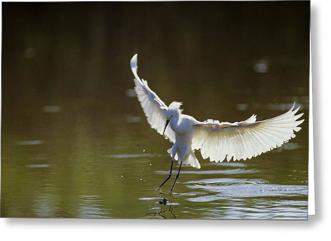 Snowy Egret Landing Greeting Card by Michael Turco