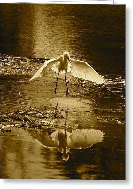 Snowy Egret Landing With Golden Tones Greeting Card