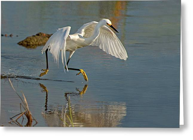 Snowy Egret On The Move Greeting Card