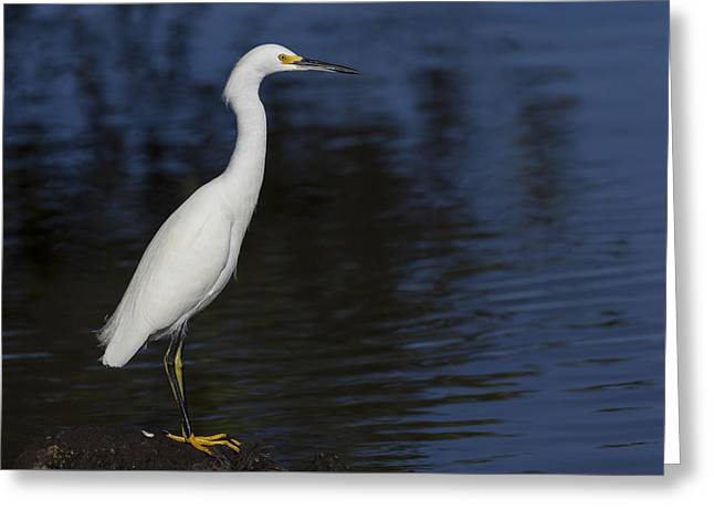 Snowy Egret Perched On A Rock Greeting Card