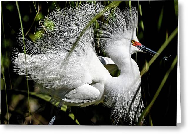 Greeting Card featuring the photograph Snowy Egret by Steven Sparks