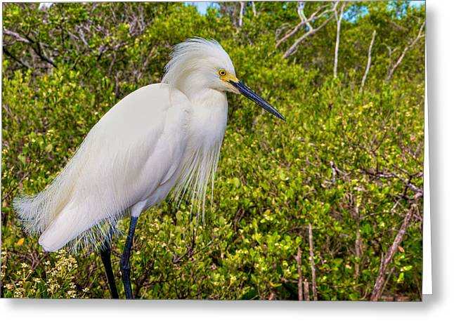 Snowy Egret Greeting Card by William Wetmore