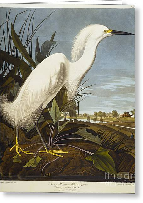 Heron.birds Greeting Cards - Snowy Heron Greeting Card by John James Audubon