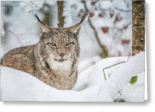 Snowy Lynx Greeting Card