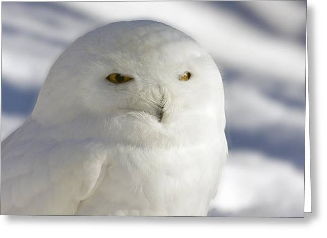 Snowy Owl - Harfang Des Neiges Greeting Card