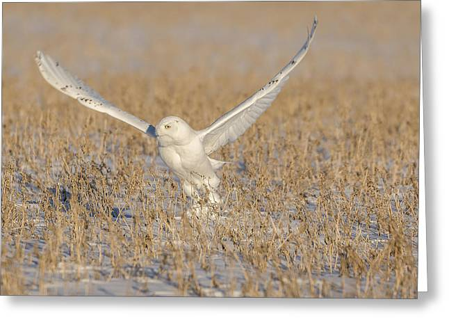 Snowy Owl 2016-1 Greeting Card by Thomas Young