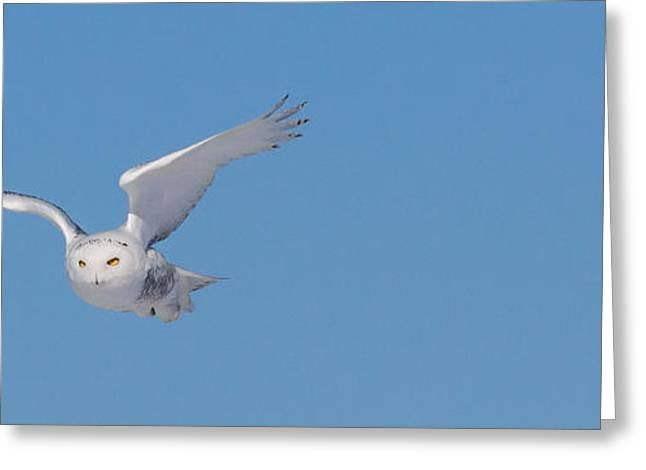 Snowy Owl - Dive Greeting Card by Dan Traun