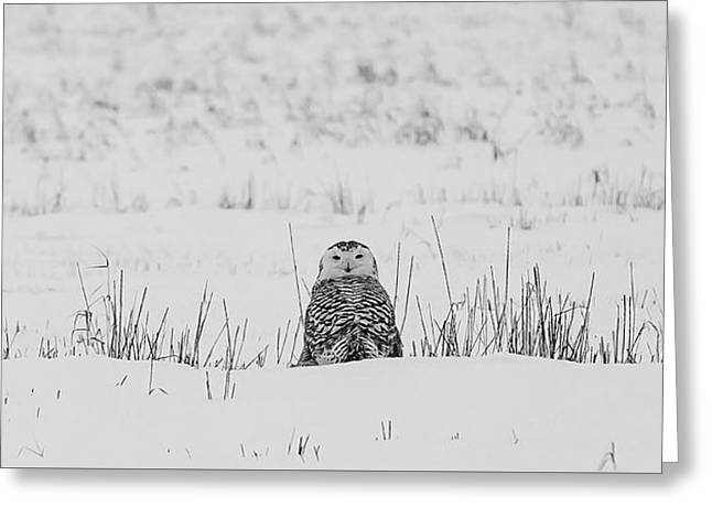 Snowy Owl In Snowy Field Greeting Card