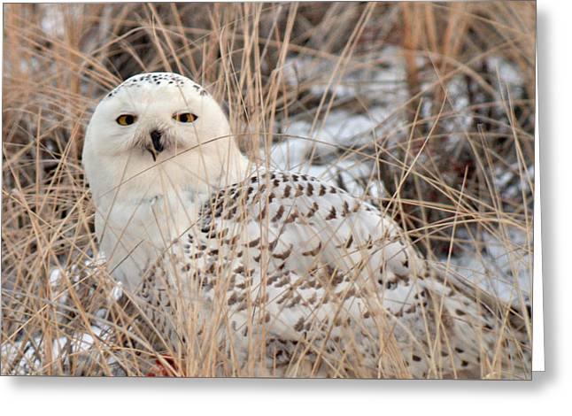 Snowy Owl Greeting Card by Nancy Landry