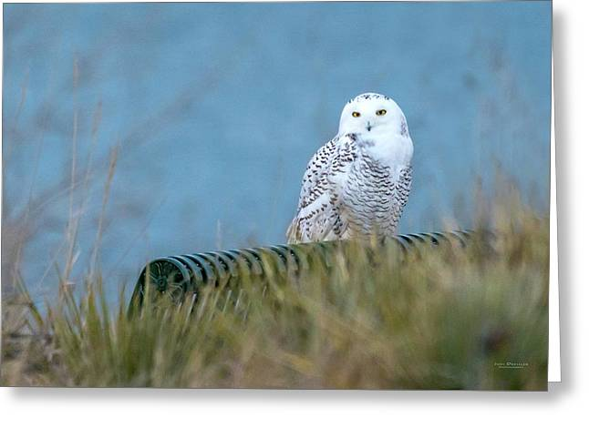 Snowy Owl On A Park Bench Greeting Card