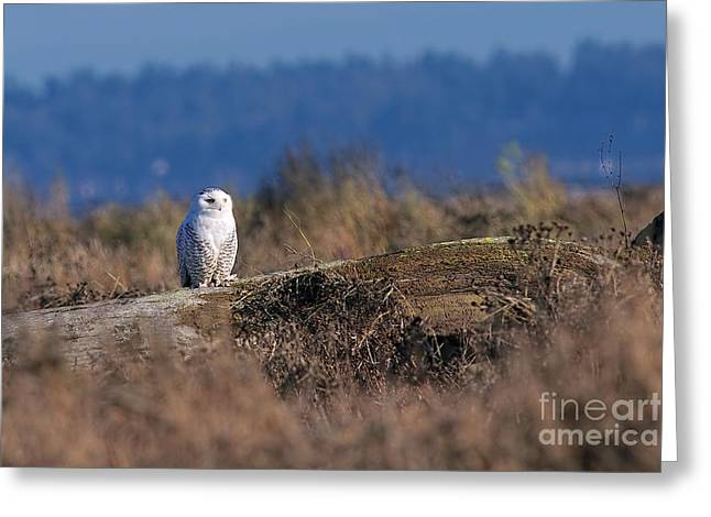 Greeting Card featuring the photograph Snowy Owl On Log by Sharon Talson