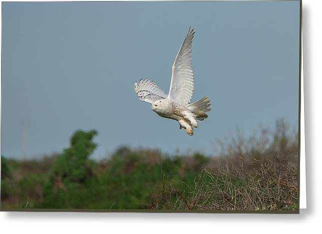 Snowy Owl Over The Dunes Greeting Card by Loree Johnson