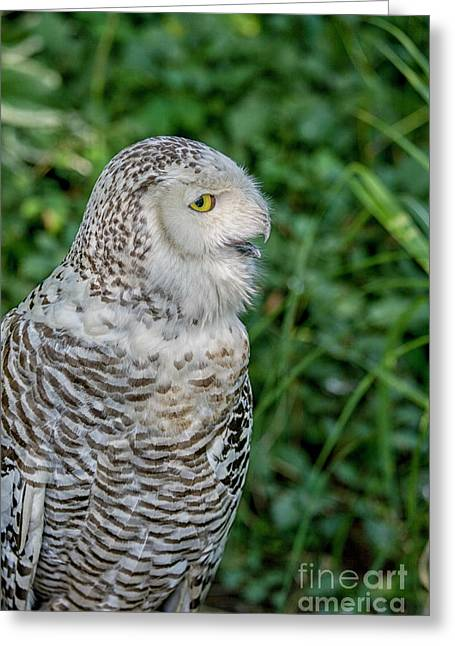 Greeting Card featuring the photograph Snowy Owl by Patricia Hofmeester