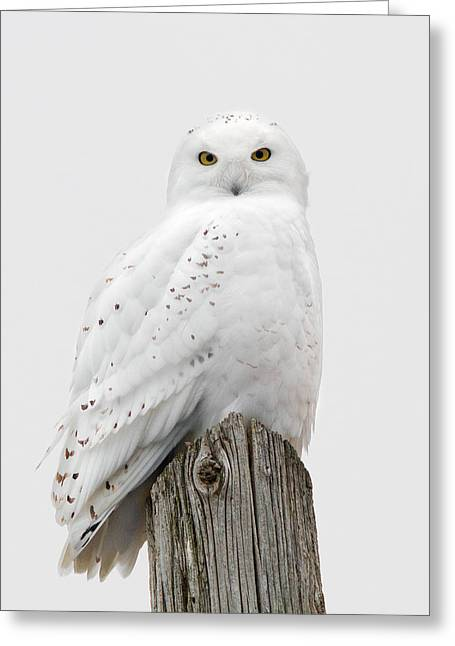 Snowy Owl Portrait Greeting Card