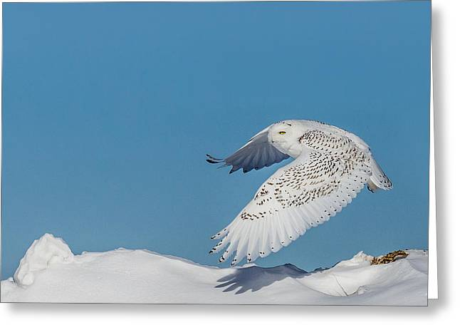 Snowy Owl - Taking Flighty Greeting Card by Dan Traun