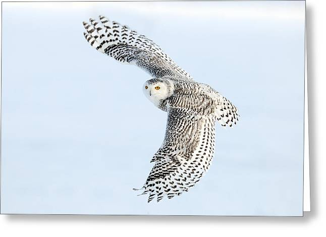 Snowy Owl Topside Greeting Card
