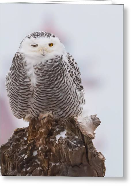 Snowy Owl Winking Greeting Card