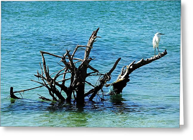 Snowy Perched On Driftwood Greeting Card by Debbie Oppermann