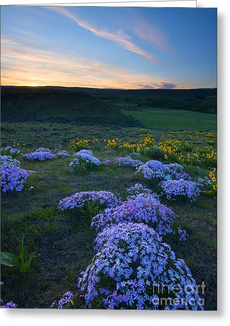 Snowy Phlox Sunset Greeting Card by Mike Dawson