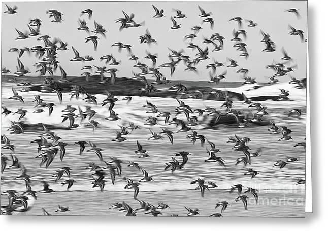 Snowy Plovers Greeting Card