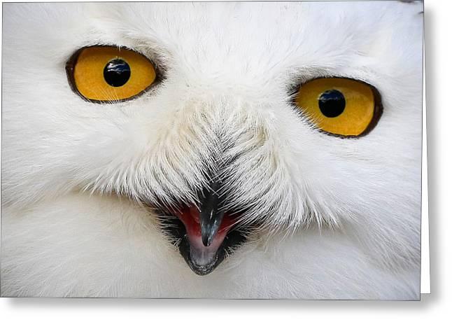 Snowy White Owl Close Up Greeting Card by Athena Mckinzie