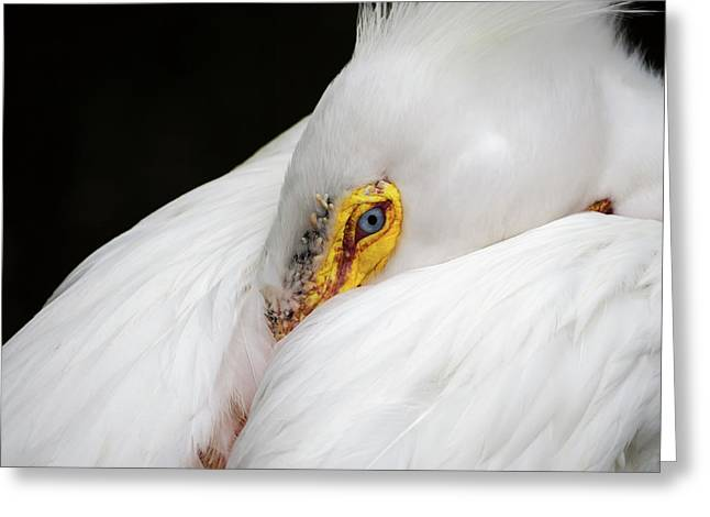 Greeting Card featuring the photograph Snuggled White Pelican by Penny Lisowski