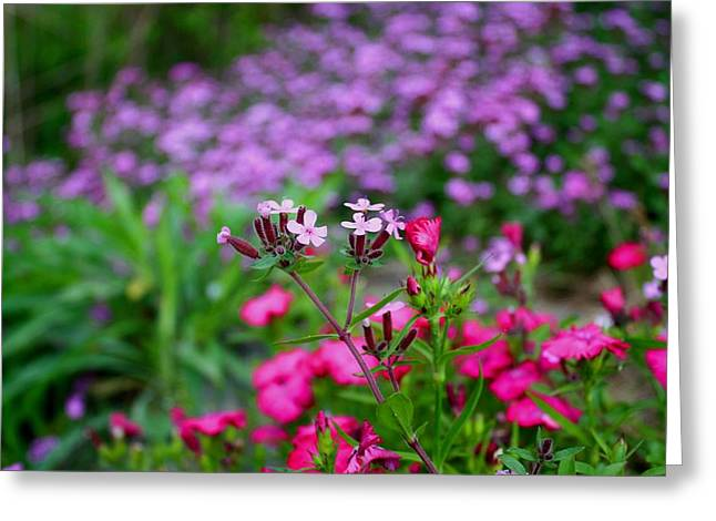 Greeting Card featuring the photograph Soapwort And Pinks by Kathryn Meyer