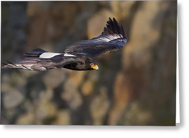 Soaring Black Eagle Greeting Card by Basie Van Zyl