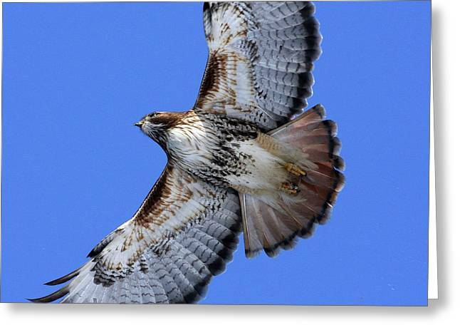 Soaring Red-tail Greeting Card