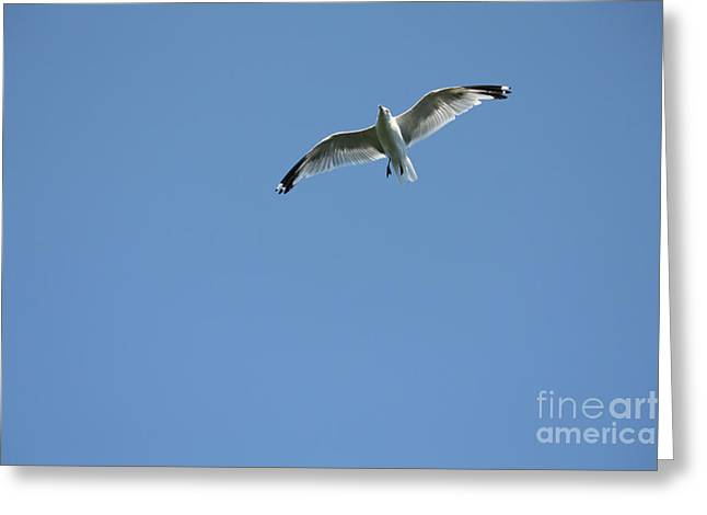 Soaring Seagull Greeting Card by Denise Jenks