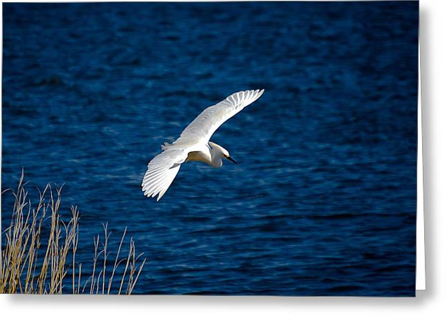 Soaring Snowy Egret  Greeting Card by DigiArt Diaries by Vicky B Fuller