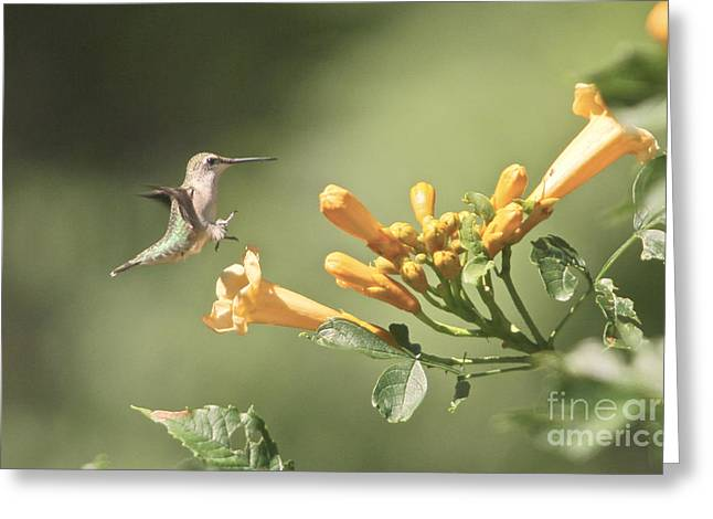 Bird-feeder Greeting Cards - Soft Landing Greeting Card by Robert Pearson