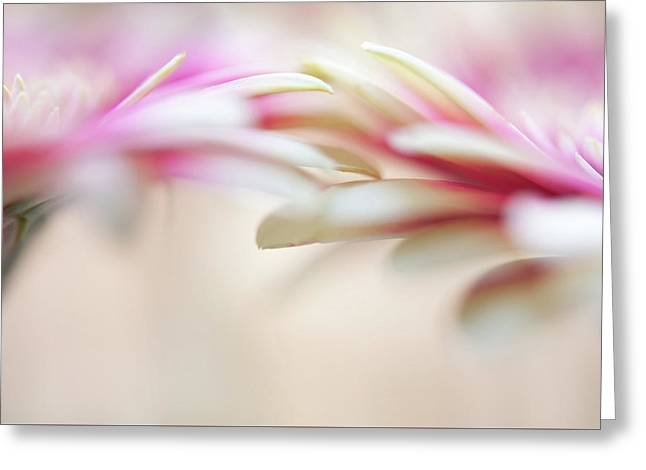 Greeting Card featuring the photograph Soft Touch. Macro Gerbera by Jenny Rainbow
