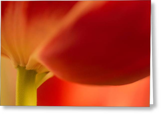 Soft Tulip Greeting Card