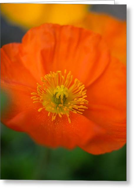Yellow Flowers Framed Prints Greeting Cards - Softly Poppies Greeting Card by Kathy Yates