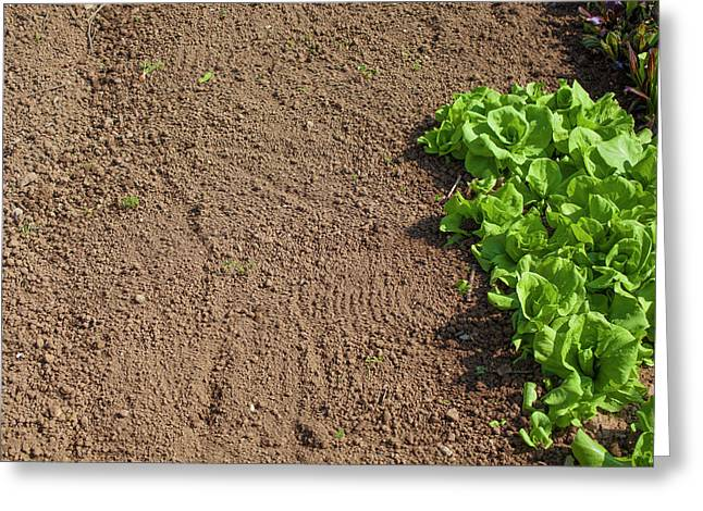 Soil And Chicory Greeting Card