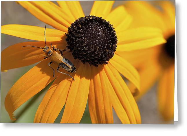 Soldier Beetle On His Flower Greeting Card