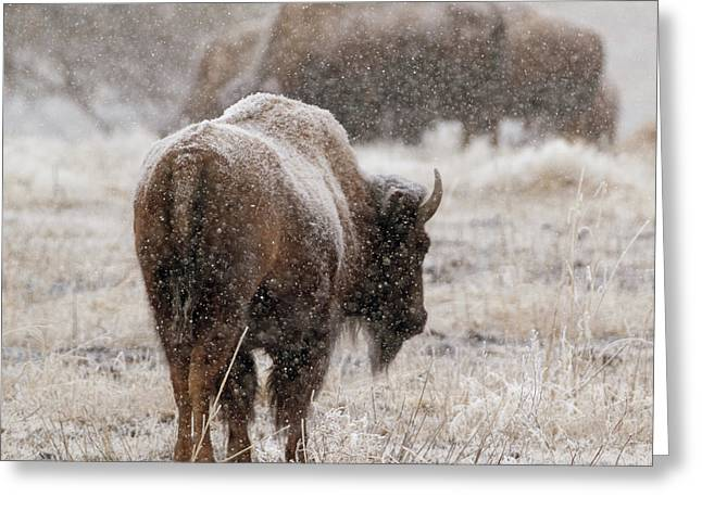 American Bison In Snow Greeting Card