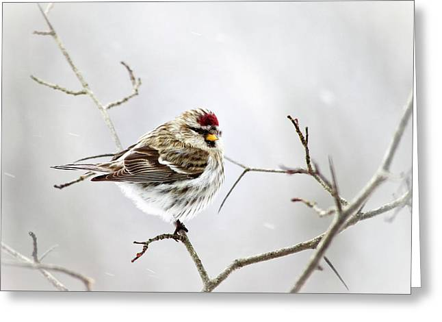 Solitary Redpoll Greeting Card by Christina Rollo