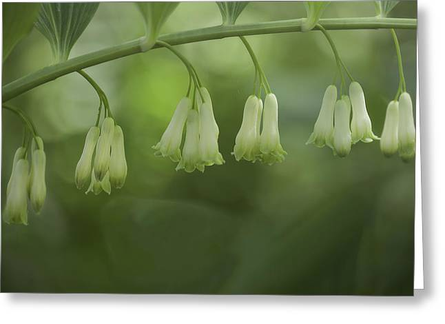 Greeting Card featuring the photograph Solomon's Seal by Jacqui Boonstra